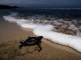 Newly Hatched Leatherback Turtle Crawling into the Surf  Playa Grande Beach  Costa Rica