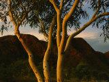 Eucalyptus Tree at Twilight