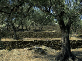 Terraced Stone Walls Support Olive Trees on the Hillside  Cadaques  Spain  Europe