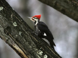 A Close View of an Adult Male Pileated Woodpecker