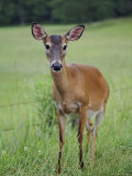 White-Tailed Deer in a Cades Cove Field  Great Smoky Mountains National Park  Tennessee