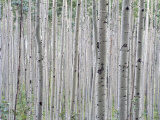 A Grove of Aspen Trees Outside Aspen  Colorado