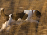 An English Springer Spaniel Runs Through the Grass