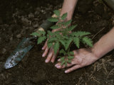 A Woman Plants a Tomato Plant in Her Garden