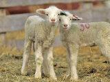 Pair of Targhee Lambs near Cascade  Montana  USA