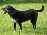 A Black Lab-Pointer Mixed Breed Dog