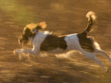 An English Springer Spaniel Runs Through a Field
