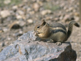 A Chipmunk Eats a Nut