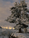 Sunlight on the Sierra Nevada Mountains and a Snow Covered Tree near Bishop  California