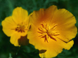 Yellow California Poppies