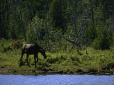 Moose at Shore of Hidden Lake on Isle Royale National Park  Michigan