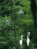A Pair of Egrets and a Pair of Anhingas Sit on Tree Branches