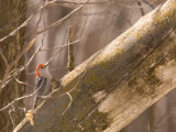 A Red-Bellied Woodpecker (Melanerpes Carolinus) Sits on a Tree Branch