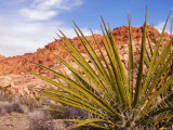 Red Rocks National Conservation Area  Mojave  Yucca  Nevada  USA