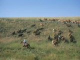 A Cowboy Herds His Cattle Over a Hill in Colorado