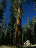 Giant Sequoia Tree Towers over a Rustic Museum Building  Yosemite National Park  California