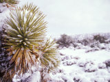 Snow Covers the Ground and Joshua Trees near Mt Charleston  north of Las Vegas  Nevada  USA