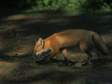 Red Fox at Isle Royale National Park  Michigan