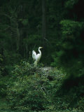 A Pair of Snowy Egrets Sit on a Nest in a Swamp in Georgia