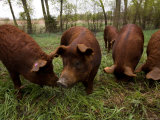 Red Wattle Pigs on a Farm in Kansas