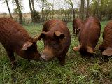 Red Wattle Pigs on a Farm in Kansas