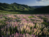 Lupine  Humboldt National Forest  Jarbridge Wilderness and Mountains  Nevada  USA