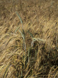 A Close View of a Barley Plant with Grains and Stalk Clearly Visible  Bavaria  Germany