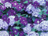 Hydrangea and Clematis  Issaquah  Washington  USA