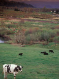 Cattle Out to Pasture  Clatskanie  Oregon  USA