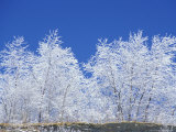 Snow-Covered Trees and Sky  Great Smoky Mountains National Park  Tennessee  USA