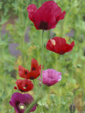 Shirley Mixed Poppies  Port Townsend  Washington  USA
