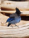 Steller's Jay  Bryce Canyon  Utah  USA