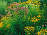 Black-eyed Susans and Sweet Joe-Pye Weed in the Holden Arboretum  Cleveland  Ohio  USA