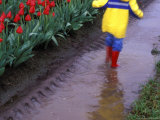 Boy Jumping through Mud Puddles along Tulip Fields  Willamette Valley  Oregon  USA