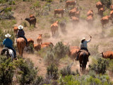 Cowboys and Cowgirls Driving Cattle through Dust in Central Oregon  USA