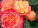 Roses Growing in the Rose Test Garden in Washington Park  Portland  Oregon  USA
