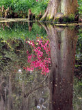 Reflections in Pond  Magnolia Plantation and Gardens  Charleston  South Carolina  USA