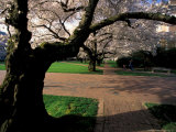 Cherry Blossoms in the University of Washington Quad  Seattle  Washington  USA
