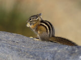 Yellow-Pine Chipmunk Feeding  Mt Rainier National Park  Washington  USA