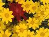 Paintbrush and Yellow Daisies  Box Canyon Creek  Cascades  Washington  USA