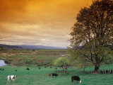 Cattle in Pasture near Clatskanie  Oregon  USA