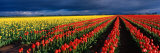 Spring Tulip Rows  Skagit Valley  Washington  USA