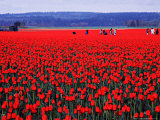 Skagit Valley Tulip Festival in April  Washington  USA