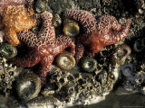 Starfish and Anemones of Olympic National Park  Washington  USA
