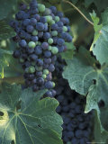 Grape Cluster in Veraison  Seven Hills Vineyard  Umatilla County  Oregon  USA