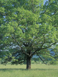 Bur Oak in Cades Cove  Great Smoky Mountains National Park  Tennessee  USA