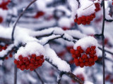 Snow on Mountain Ash Berries  Utah  USA