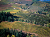 Aerial View of a Vineyard in the Willamette Valley  Oregon  USA