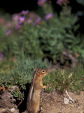 Golden Mantled Ground Squirrel  Mt Rainier National Park  Washington  USA