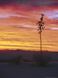 Yucca Plant  White Sands  New Mexico  USA